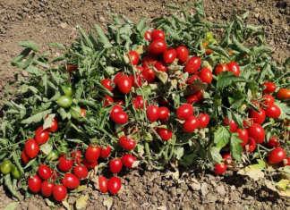 Il pomodoro siciliano Buttiglieddru ha una maturazione precoce