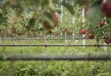Procede senza difficoltà il piano di decumulo del Consorzio Vog, con ottimi riscontri per la qualità del raccolto delle mele