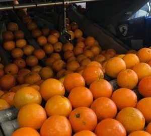 Controllo arance Lusia