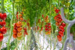 Pomodoro prodotto in idroponica da Sfera Agricola
