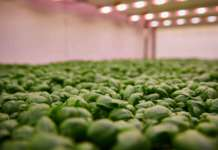 Coltivazioni Planet Farms in vertical farming