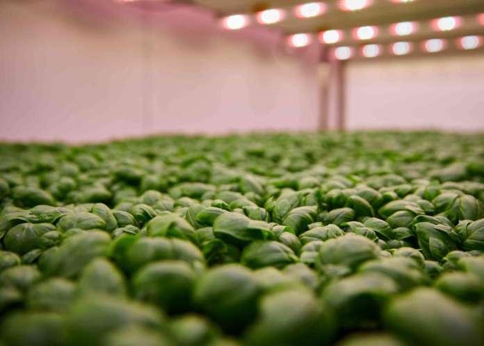 Coltivazioni Planet Farms in vertical farming
