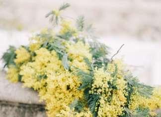 La mimosa è coltivata in Italia, prevalentemente in Liguria