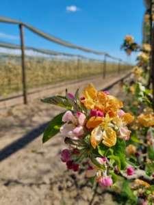 I danni provocati dal gelo rischiano di compromettere la produzione di molta frutta estiva