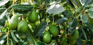 AAvocado Orsero prodotti in Messico presso l'azienda Acapulco