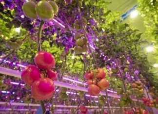 Pomodoro coltivato fuori suolo