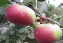 Mela Rosa Romana, una varietà del Bolognese