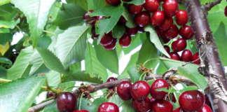 La varietà di ciliegia Sweet Aryana