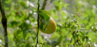 Il Limone dell'Etna Igp ha bisogno d'acqua