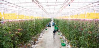 Il pomodoro da serra tecnologica H2Orto