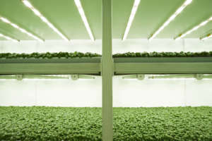 Planet Farms, coltivazioni di basilico