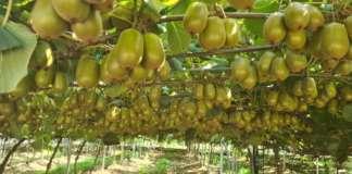 Apofruit_kiwi Soreli bio