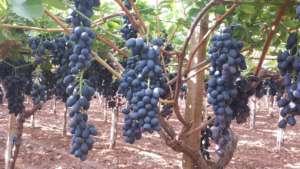 Apofruit, uva nera seedless