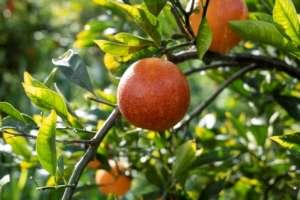 Le arance, importante business di Unifrutti