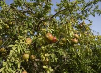 Melograno, frutteto solidale di Modica, in Sicilia