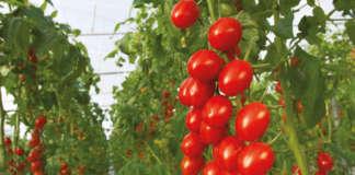 un focus sulle colture chiave per i mercati delle serre , come il pomodoro