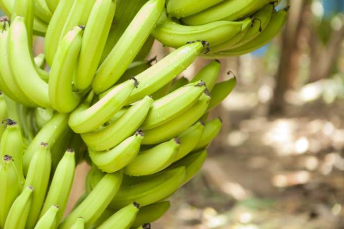 Ogni anno vengono consumati oltre 100 miliardi di banane nel mondo. Chiquita è il brand di riferimento