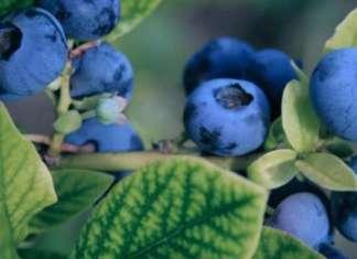 I mirtilli in italia crescono a valore e volume più più degli altri piccoli frutti