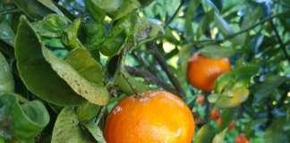 Raccolta del clementino di Corigliano Terra Mia