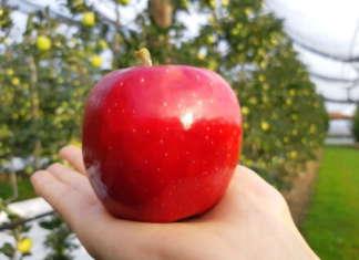 Luiza, una delle tre varietà brasiliane di mele commercializzata da Rivoira